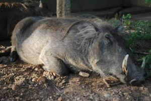 The Warthog, often found sleeping in the sun or running from lions.