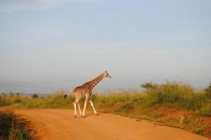 Why does the giraffe cross the road?
